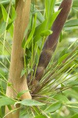New shoot emerging from a node of Chusquea Bamboo (Chusquea valdiviensis)