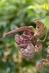 Mottled dutchman's pip (Aristolochia labiata)