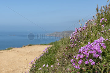 Thrift seapink (Armeria maritima) on the edge of a cliff  Printemps  Manche  Normandy  France.