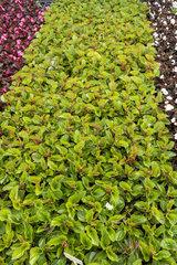 Begonia seedlings 'Senator' white  in a greenhouse  spring  Pas de Calais  France
