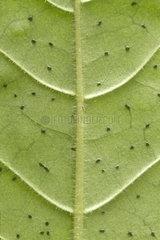 Dotted wild coffee (Psychotria punctata) Foliar bacterial nodules
