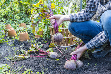 Harvest of red beets in a kitchen garden  Autumn  Pas-de-Calais  France