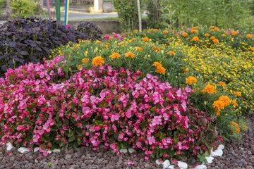 Colourful mixed border with Tagetes and Begonia
