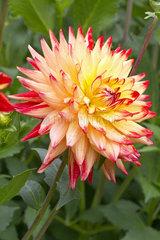 Cactus Dahlia 'Isadora'