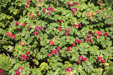 Rugosa Rose and Rose Hips in a Garden  Autumn  Pas de Calais  France