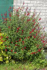 Shrubby sage in bloom in a garden  spring  Pas de Calais  France
