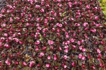 Begonia seedlings 'Senator' light pink  in a greenhouse  spring  Pas de Calais  France