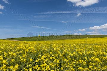 Rape field in bloom  spring  North  France