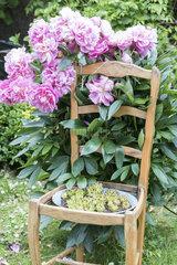 Peony on a chair in a garden  spring  Pas de Calais  France