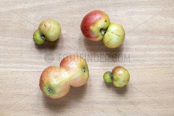 Siamese apples 'minister von hammerstein'  autumn  Moselle  France
