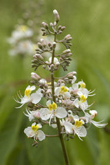 Chinese horse chestnut (Aesculus chinensis)