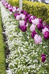 Border of tulips in a garden  spring  Pas de Calais  France