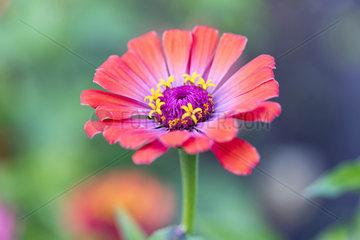 Zinnia flower in a garden  summer  Moselle  France