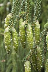 Oriental spruce (Picea orientalis)