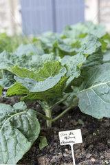 'Clarissa' Milanese cabbage in a vegetable garden  summer  Pas de Calais  France