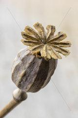 Dried fruit of poppy flower