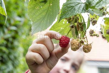 Girl picking a raspberry in a garden  autumn  Pas de Calais  France
