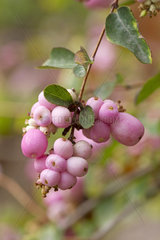 Pink snowberry (Symphoricarpos x doorenbosii 'Mother of Pearl')