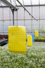 Pheromone traps in a greenhouse  spring  Pas de Calais  France