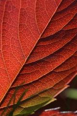 Detail of an autumn leaf. France