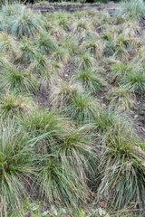Wavy Hair-grass (Deschampsia flexuosa)