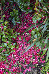 Camellia petals (Camellia japonica) on the ground in a garden  spring  Manche  Normandy  France
