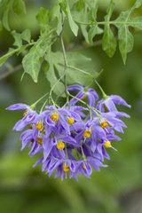 Brazilian nightshade (Solanum seaforthianum)