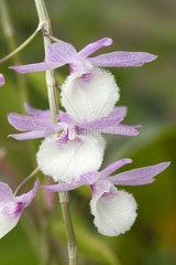 Orchid (Dendrobium aphyllum)