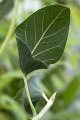 Indian banyan (Ficus benghalensis var. krishnae)