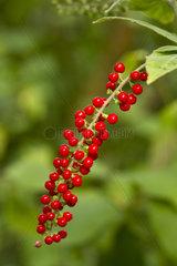 Blood berry (Rivina humilis)