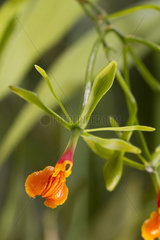 False Epidendrum (Epidendrum pseudepidendrum)