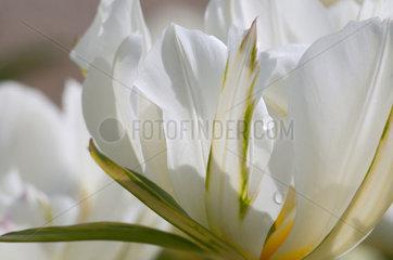 Foster tulip 'Exotic Emperor' in bloom in a garden