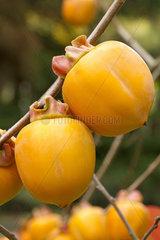 Japanese persimmon (Diospyros kaki) 'Costata'