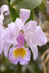Cattleya (Cattleya schroederae)
