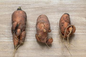 Carrots of strange shape  autumn  Moselle  France
