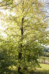 Turkish hazelnut (Corylus colurna)  autumn  Somme  France