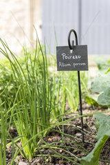 Leek in a square foot garden