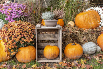 Decoration for Halloween  Pumpkins  Chrysanthemums and Heather in a garden  autumn  Germany