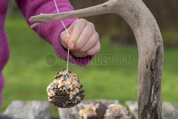 Girl hanging a ball of fat  homemade for garden birds  winter  Pas de Calais  France
