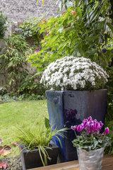 White chrysanthemums in pots in a garden in autumn  Pas de Calais  France