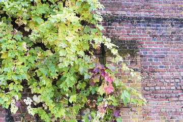 Virginia creeper (Parthenocissus sp) on a brick wall  autumn  Somme  France