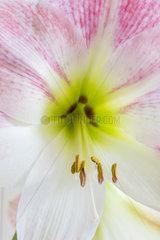 Stamens of an Amaryllis flower