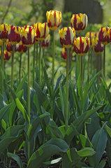 Tulip 'Helmar' in bloom in a garden