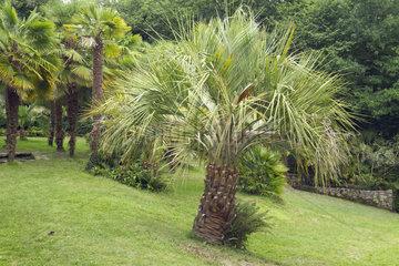 Jelly palm (Butia odorata)