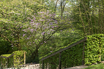 Magnolia liliflora 'Susan' in bloom  spring  Somme  France