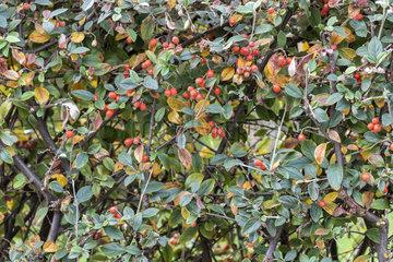 Cotoneaster (Cotoneaster lidjiangensis) in fruit  autumn  Pas de Calais  France