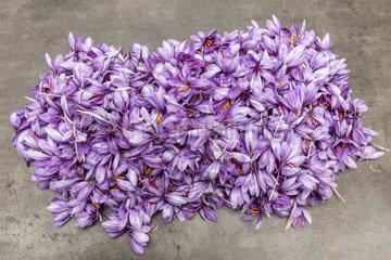 Harvest Saffron flowers (Crocus sativus) to harvest saffron  autumn  Pas de Calais  France