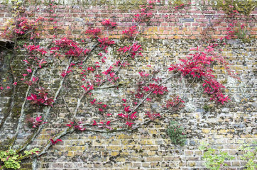 Virginia creeper (Parthenocissus quinquefolia) on the wall of a house  autumn  Lorraine  France