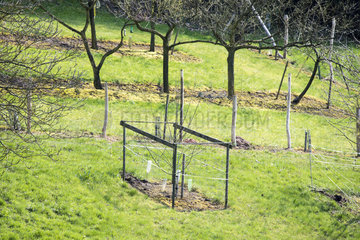 Protection of a young tree against the degradation of wildlife  spring  Moselle  France