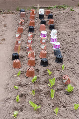 Protection of young salad plants with empty pots  summer  Moselle  France